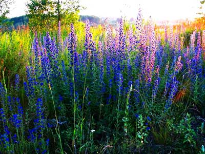медонос трава фото