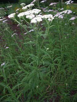Achilla millefolium L