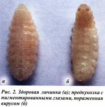 Личинка пораженная вирусом