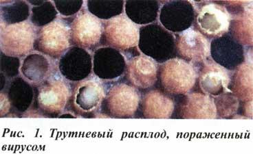 Вирус мешотчатого расплода