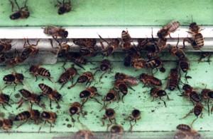 Воровство пчел
