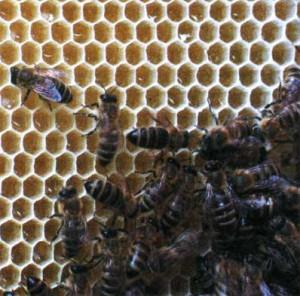 размеры ячеек пчелиных сотов