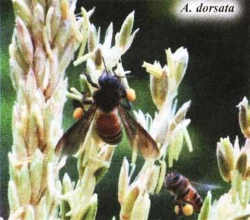 Пчелы группы dorsata