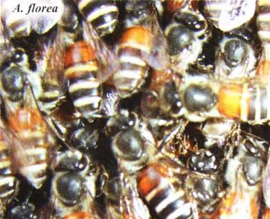 A. florea