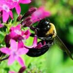 садовая пчела