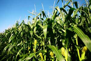 Цветет кукуруза