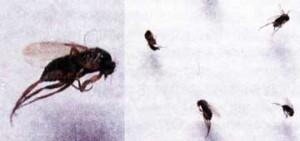 муха-горбатка