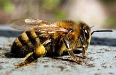 Кавказские пчелы