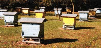 в Институте садоводства и пчеловодства...