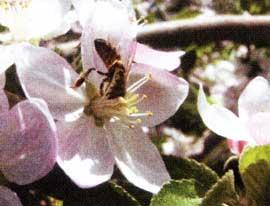 С цветков яблони