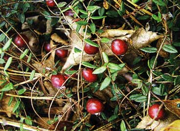 клюква-ягода
