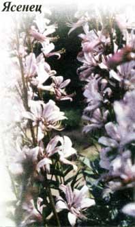 ясенец кавказский