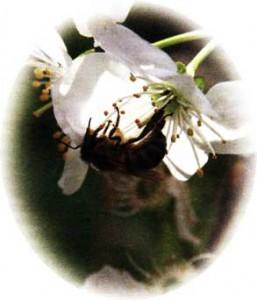 яблони: ранетки и полукультурки