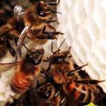 Пчела строит ячейку