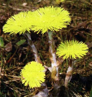 растение апреля - мать-и-мачеха