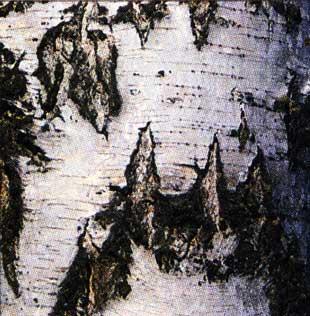 берёзовой корой