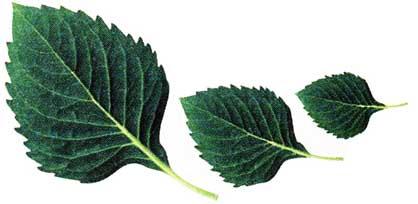 из листьев берёзы