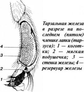 Тарзальная железа