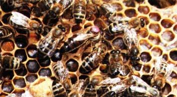 предупреждения роения пчел