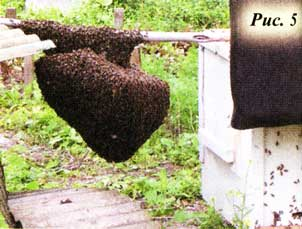 При объединении пчел