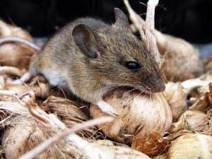 и домовых мышей