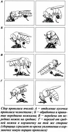 Пчелы при сборе прополиса