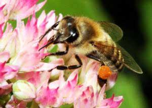 пчелы и растения