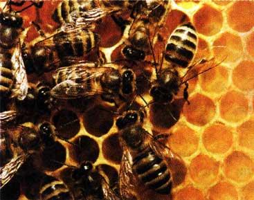 Пчелиный яд - за и против