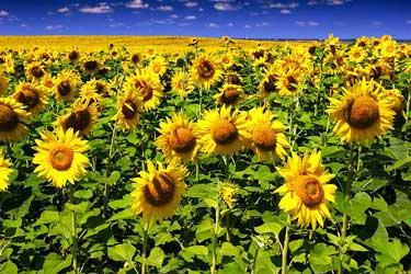 цветки подсолнечника