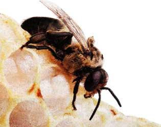 продукт пчеловодства - перга