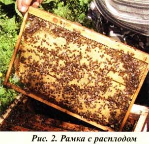 Осматриваю пчел
