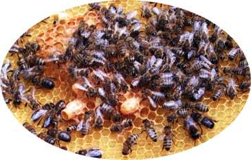 разведение семей пчел