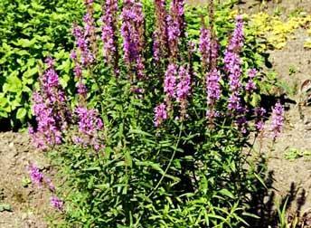 цветки дербенника
