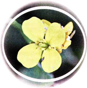 горчичное растение