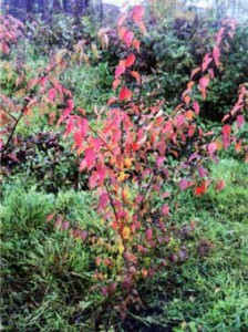 злаковое многолетнее растение.