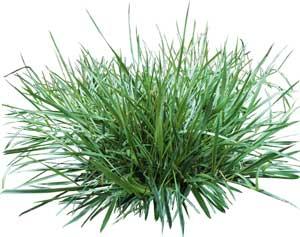 трава полевица побегоносная