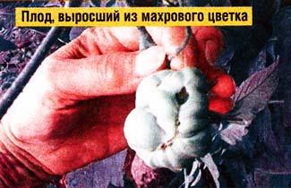 Махровые цветки томатов