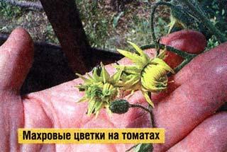 махровых цветков на томатах