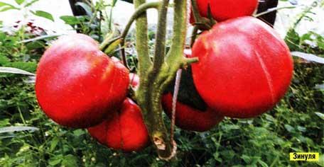 вырастить крупноплодные помидоры