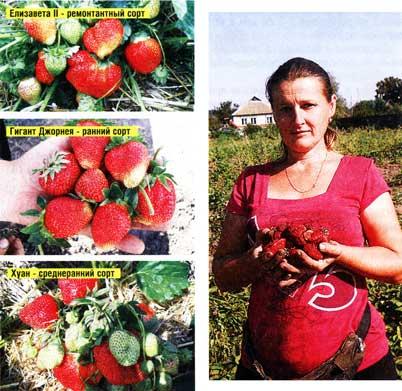 фото ягод земклуники