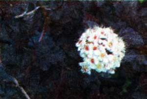 Пузыреплодник калинолистный