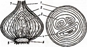 Строение лука