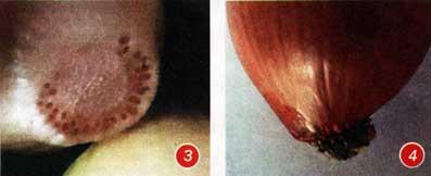 Донце луковицы