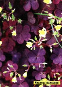 кислица рожковая