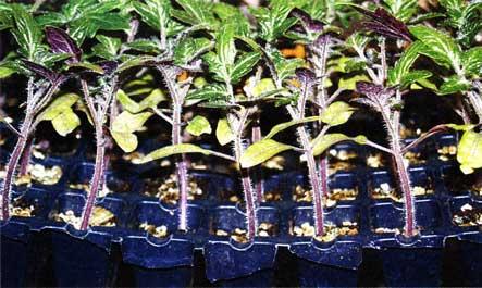 Рассада с фиолетовыми листьями