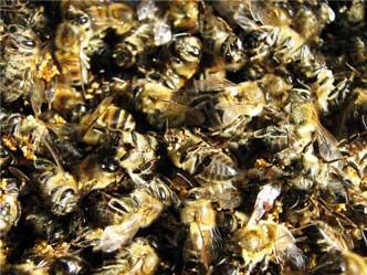 поможет пчелиный подмор