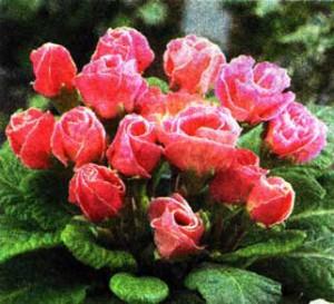 напоминают бутоны роз