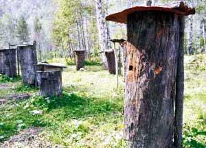 Занимались пчеловодством