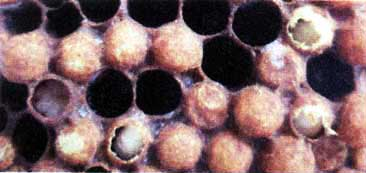 Мешотчатый расплод