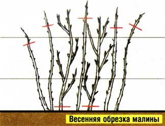 Выращивают малину